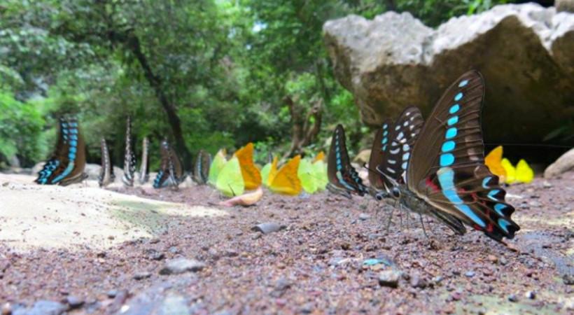 kerajaan kupu-kupu